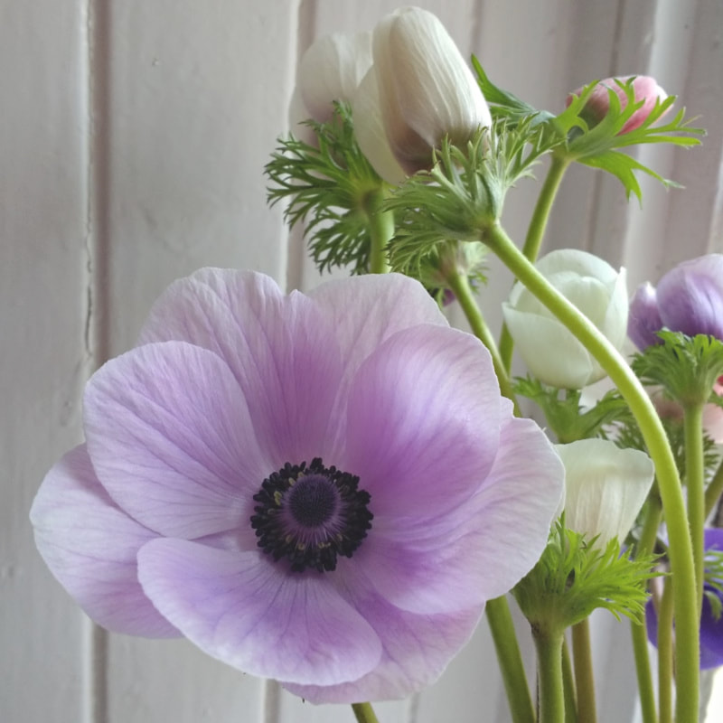 Lilac Anemone grown by Galloway Flowers