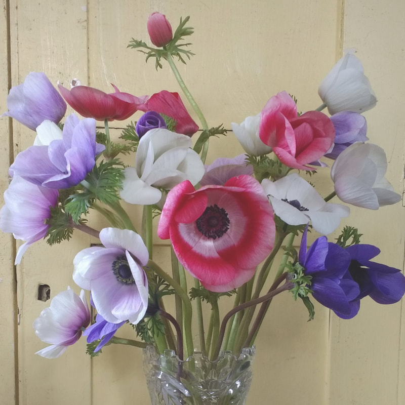Anemones in glass vase grown by Galloway Flowers