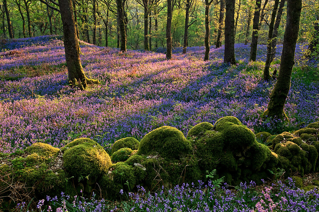 Bluebells in Carstramon Wood Nature Reserve Copyright Ken Leslie Photography