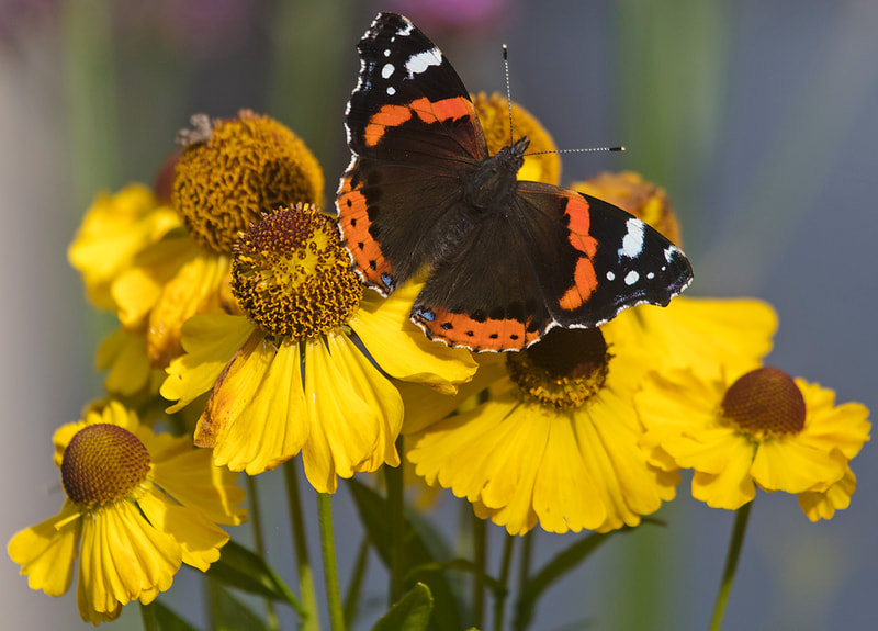 Red Admiral Butterfly on Helenium Flower Copyright Ken Leslie Photography