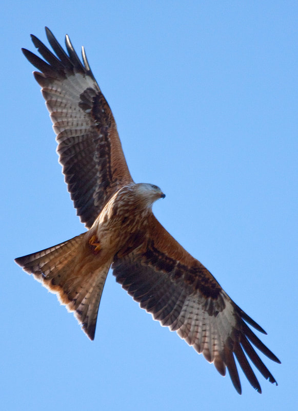 Red Kite on Blue Sky Flying over the Flower Farm in Dumfries &  Galloway Copyright Ken Leslie Photography