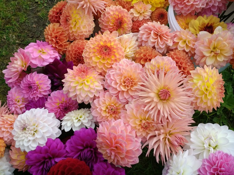 Dahlias in variety grown at Galloway Flowers