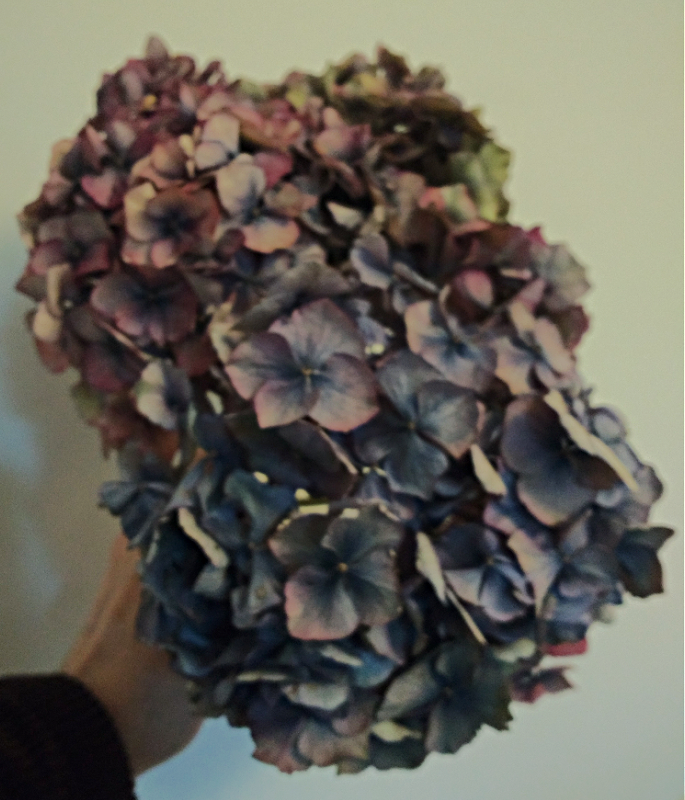 Dried Hydrangea flowers copyright www.GallowayFlowers.co.uk
