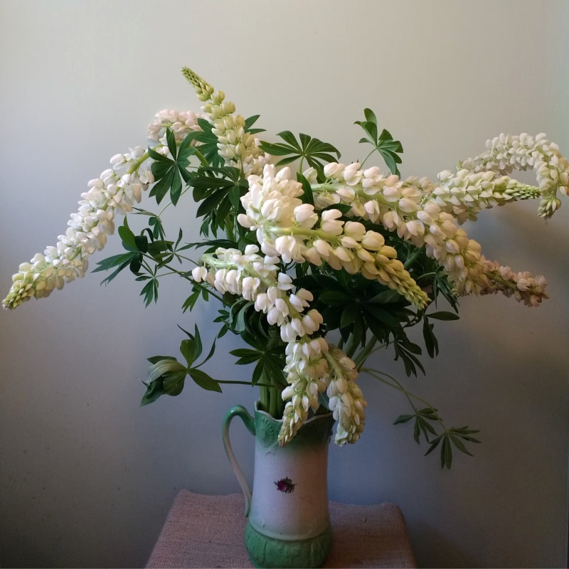 White Lupins in jug copyright www.GallowayFlowers.co.uk