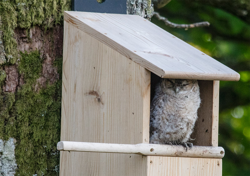 Tawny Owlet in Owl Box at the Flower Farm in Dumfries & Galloway Copyright Ken Leslie Photography