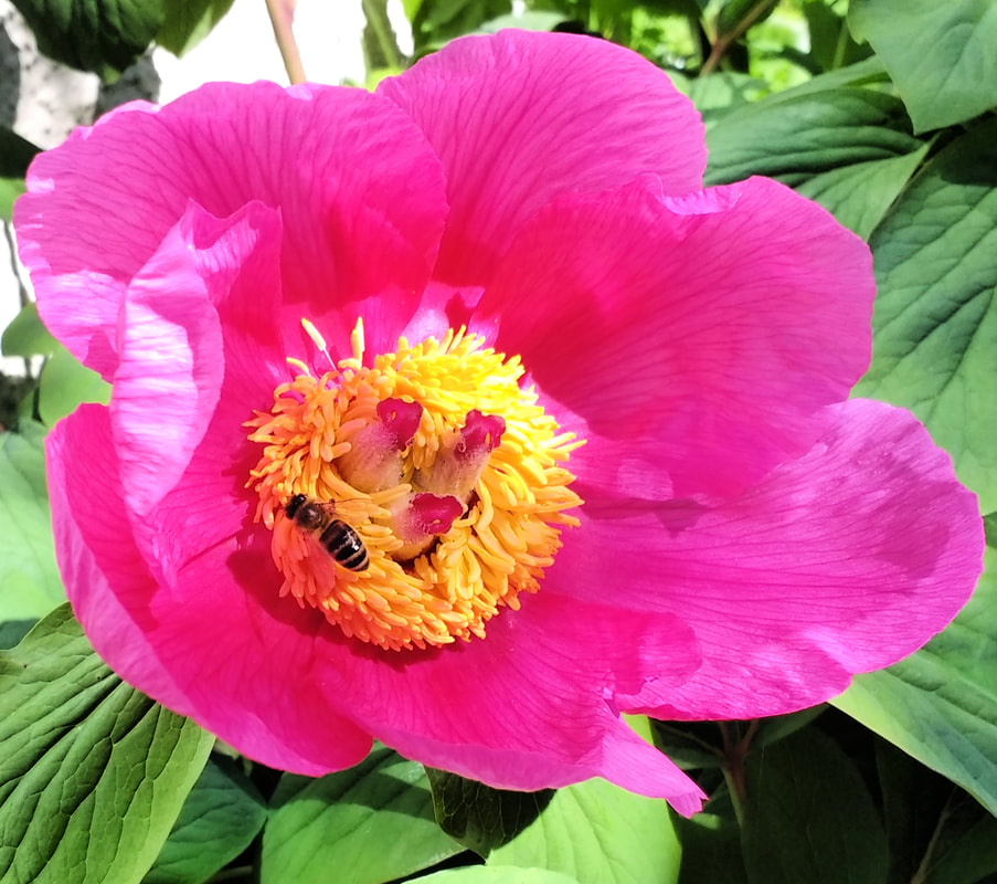 Single pink peony with Honey Bee. Copyright Rosie Gray, www.GallowayFlowers.co.uk