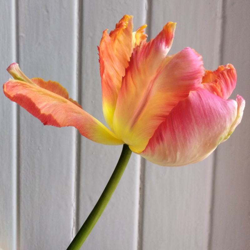 Tulip 'Apricot Parrot' Copyright Rosie Gray, www.GallowayFlowers.co.uk