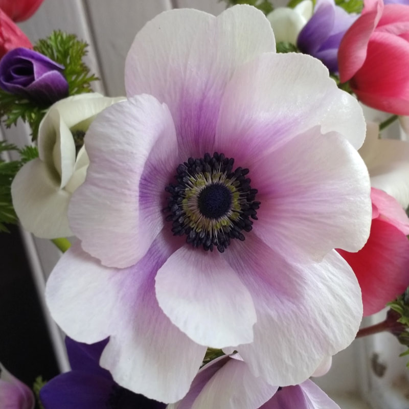 Pale Anemone grown by Galloway Flowers